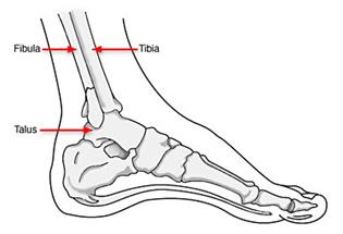 diagram showing fibula, tibia and talus