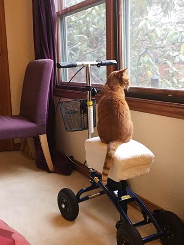 cat on top of a knee walker